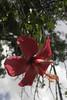 Secretos en los petalos (Duvan Autodeter) Tags: hojas rojo flor sombra hermoso cucarron sepalo