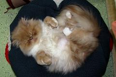Paddy Purr (Kurt Faler) Tags: rescue cats cat kitten earth kitty kittens center angels felines clinic neuter spay ffrc friendsoffelinesrescuecenter earthangelsspayneuterclinic easnc