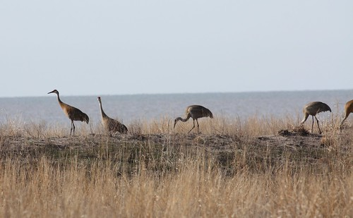 sandhill cranes at Rondeau by ricmcarthur