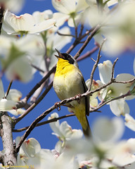 Common Yellowthroat (mattlev12) Tags: