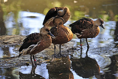 Ducks (picsie14) Tags: animals interestingness interesting wildlife sydney australia nsw featherdale 80400mm australiananimals interestingness2 longlens d700 nikond700