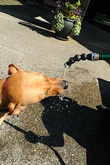 from seattle usa dog plant hot building water lady out that corporate washington cool bath day you drink rosie go thinks sunny down give when traveling comes now doggie bellevue gets spontaneous 8700 waterer rosiegetsaspontaneouscooldowndrinkofwaterfromtheplantlady dobermanridgebackshepardmix