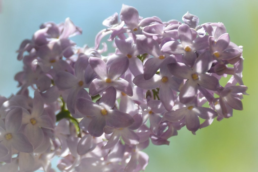 Flowers - Lilacs