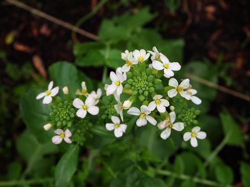 Radish blooms