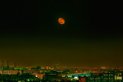 Dark Red Moon Rose