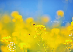 Yellow Glow..  Glenn E Waters. Hit Explore.  Over 3,000 visits to this image.   Thank you. (Glenn Waters in Japan.) Tags: nature beautiful yellow japan japanese glow bokeh bee explore aomori  hirosaki honeybee japon yellowflowers 96    explored  d700 nikond700  glennwaters nikkor85mmf14g nikkorafs85mmf14g