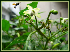 An insect visiting the flower of Capsicum frutescens (Chilli padi, Tabasco pepper) at our backyard. Shot May 11, 2011