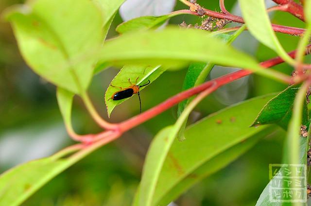 Bacchisa fortunei japonica