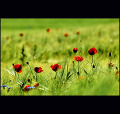 a never ending story... (klaus53) Tags: flowers red green colors spring nikon monet poppies loweraustria sieding saariysqualitypictures