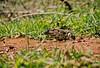 lagarto de papo amarelo (Jaimir Marcon Fotografias) Tags: fauna flora plantas natureza animais fotografo bacurau bentivi jaimir jaimirimagens imagenslagartodepapoamarelo naturezagaucha