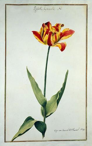004-tulipan4-Karlsruher Tulpenbuch - Cod. KS Nische C 13- Badische LandesBibliotheK