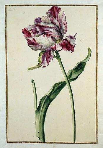 013-tulipan 13-Karlsruher Tulpenbuch - Cod. KS Nische C 13- Badische LandesBibliotheK