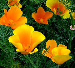 californian poppies  1431 (judy dean) Tags: orange yellow gardens vibrant poppies californian blinkagain