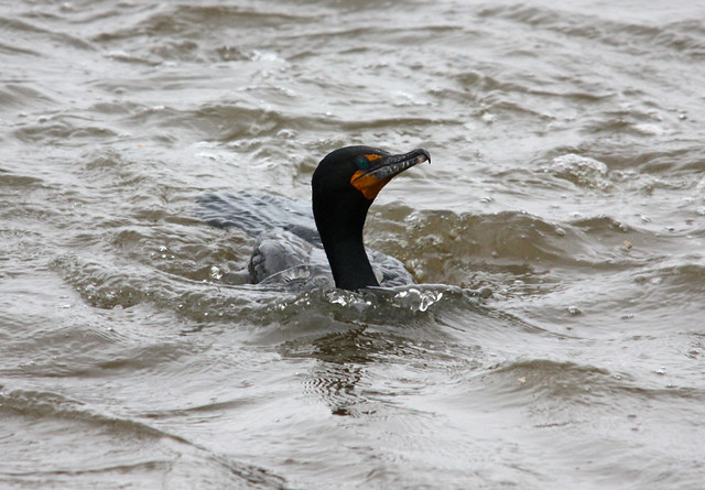 DOUBLE-CRESTED cormorant 05