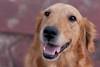 Bel (jacsonquerubin) Tags: brazil dog southamerica paraná look june female olhar sweet perro cachorro bel querida goldenretriver sudamerica iguassu fêmea américadosul fozdoiguaçu junho 2011 brasi