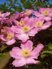 Pink Clematis (Vincent_GB) Tags: flower garden cottage clematis