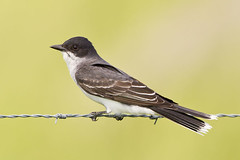 Posing Eastern Kingbird (Jeff Dyck) Tags: birds wire emo barbedwire perched eastern barbed tyrant flycatcher kingbird easternkingbird tyrannustyrannus rainyriver coth jeffdyck supershot specanimal avianexcellence peregrino27life