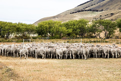Sheeps (Gigin - NoDigital) Tags: chile trees santacruz plant nature argentina animals sheep geography elcalafate puertovaras centralandsouthamerica loslagosregion