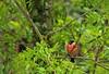 Bullfinch