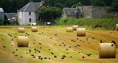 Bales and birds. (artanglerPD) Tags: bales birds horses stubble farm trees