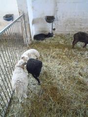 DSCN8487 (Clerss Malisha) Tags: fattoria farm daino capriolo deer animali animale animals animal ungulati oche gatto cat dog cane mucche cows cow mucca oca capre sheep pecora cute tenero adorable wonderful sympathic