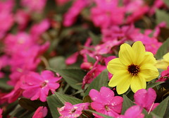 Flowers, Cantigny Park. 44 (EOS) (Mega-Magpie) Tags: canon eos 60d nature outdoors outdoor lovely beautiful flowers pink yellow green cantigny park wheaton il illinois usa america