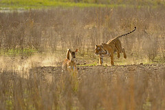 Hunter and the hunted (dickysingh) Tags: wild animal cat tiger hunting deer bigcat charge charging ranthambore ranthambhore deerandtiger flickrbigcats