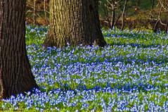 Frhling pur (dorena-wm) Tags: blue flower tree nature spring natur meadow wiese blau blume frhling gmt baumstamm blaustern scillabifolia colorphotoaward mygearandme mygearandmepremium mygearandmebronze mygearandmesilver mygearandmegold dorenawm mygearandmeplatinum mygearandmediamond dblringexcellence tplringexcellence aboveandbeyondlevel4 aboveandbeyondlevel1 eltringexcellence aboveandbeyondlevel2 aboveandbeyondlevel3