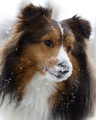 ♫ Snow Day!  Snow Day!  Kolton Had a Snow Day!!♫ (SavingMemories) Tags: winter dog storm fun nose snowflakes furry sheltie snowday shetlandsheepdog savingmemories suemoffett