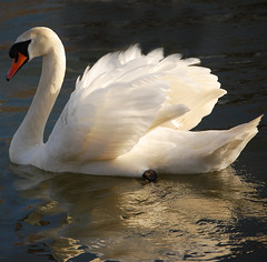 Glowing..... (Wire_cat) Tags: bird river swan ngc waterfowl wellingborough rivernene wirecat wellingboroughembankment