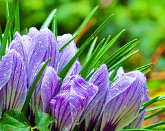 First Signs of Spring Crocus C (Mauigirl 2011) Tags: new pink flowers red white orchid flower green face leaves rain yellow droplets petals drops spring interesting nikon purple orchids image unique stripes stripe picture pic crocus images petal explore raindrops getty capture recent gettyimages 2010 intersting linzy sharan springrain 2011 d90 raindroplets nikoncapture 2013 nikond90 nikonimage mauigirl nikoncaptures nikonimages lowercapture mauigirl2011 sharanflower