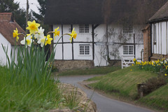 Daffodils and Signpost Cottage