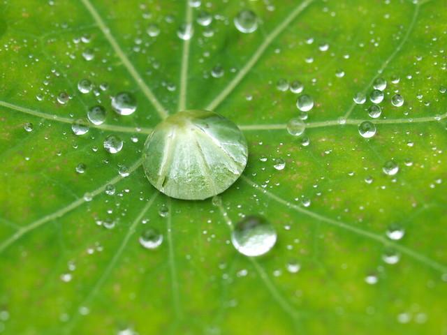 金蓮花-葉上水珠