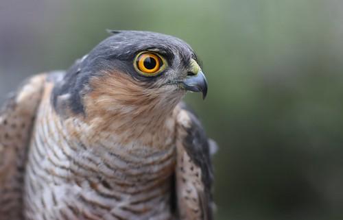 Sparrowhawk!