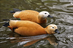 Casarca, the Ruddy Shelduck (Foto Martien (thanks for over 2.000.000 views)) Tags: india holland bird netherlands dutch turkey zoo duck russia arnhem nederland waterbird goose gans greece mongolia fowl ethiopia waterfowl eend veluwe vogel dierenparkwissel epe dierentuin gelderland wissel westernchina ruddyshelduck tadornaferruginea rostgans ogar ankut brahminyduck casarca northwestafrica watervogel southeasterneurope tarrocanelo a550 tadornecasarca ruddysheldrake angt  martienuiterweerd martienarnhem halfgans sony70300gssmlens sonyalpha550 mygearandme mygearandmepremium mygearandmebronze mygearandmesilver mygearandmegold mygearandmeplatinum mygearandmediamond rodecasarca fotomartien kasarka zoowissel roodecasarca rostkasarka casarcaroux orcacolorada    southernandcentralasia ruddysheldduck brahiminyduck angyt pasrengiankut