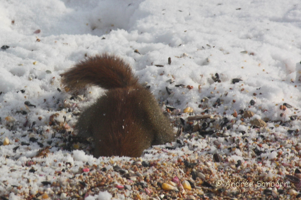 Red Squirrel at the Feeders (1 of 18).jpg