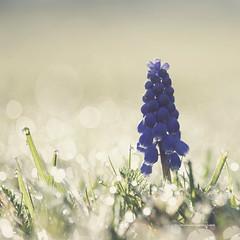 57 of 365 (Morphicx) Tags: blue light flower dutch grass bluebells droplets bokeh earlymorning beautifullight naturallight dew canon5d 365 deventer canon100mmmacro ilovebokeh grapehyacint morphicx ithinkiminlovewiththislight 365shotsin365days pauladanilse