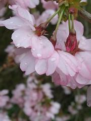 a prunus in kardinge (Michiel Thomas) Tags: holland sakura groningen prunus kardinge japanesecherry