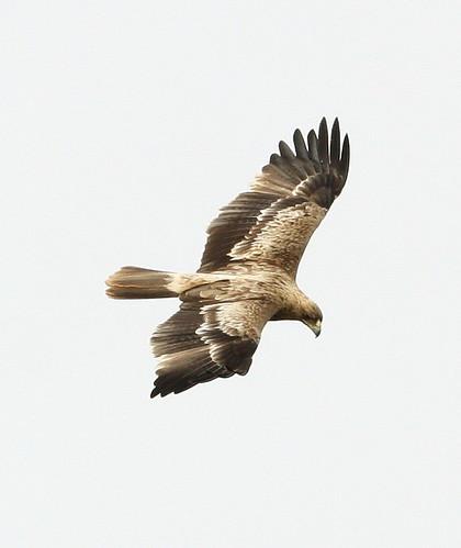2011_04_05 CdC - Spanish Imperial Eagle - juvenile (Aquila adalberti) 03
