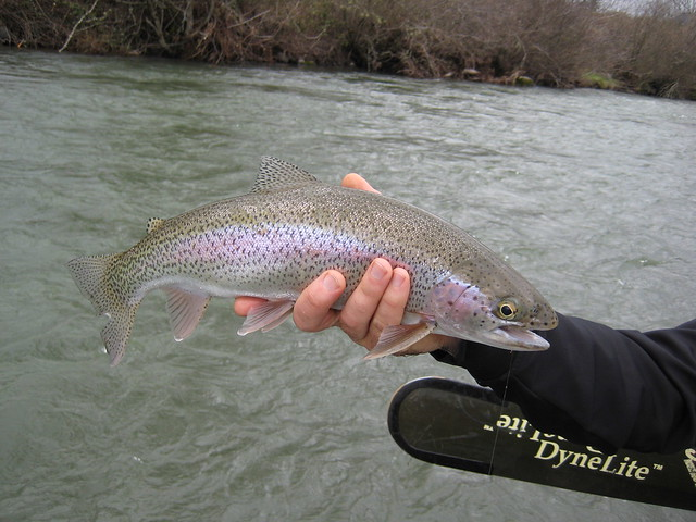 mckenzie river rainbow trout