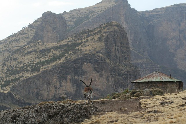 Ibex at Chenek Camp