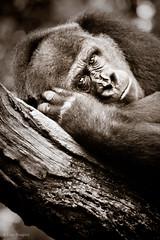 Babatunde in monochrome (alan shapiro photography) Tags: africa face animals portraits gorilla character wildlife exploring expressive monkeys congo wandering primates roaming 2011 lowlandgorilla anotherday alanshapiro momentsoftruth canon5dmarkii alanshapirophotography gorillawonderingwhoismoreevolved