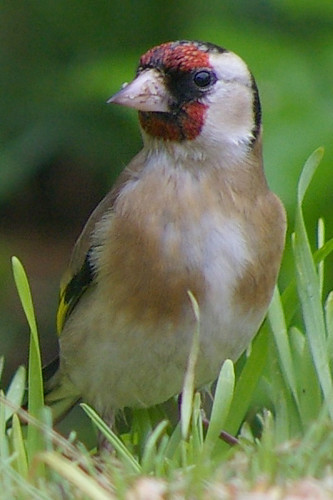Goldfinch 7