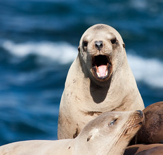 Pissed off Sea Lion (San Diego Shooter) Tags: sandiego lajolla sealions sealion lajollasealions