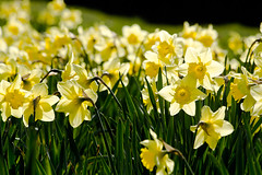 Narcissus (Wessel Haan) Tags: flowers sun nature season spring flora nederland natuur bud lente zon bloemen narcis drenthe emmen narcissus knoppen seizoen amaryllidaceae fotografieemmen