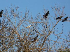 White Crow (The Chairman 8) Tags: trees birds branches yorkshire crows corvid queensbury corvids whitecrow