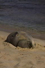 Monk Seal 0936 (eyepiphany) Tags: watch monk seal bite siesta bitten monachus monkseal sealseal sealshark schauinslandiearless sealpregnant sealbeached sealkauiahawaiin wildlifehawaiin sealscarred sealkauai programkauai programkmswpscarred scarshark sealsurvivorsleepynapping sealdrowsy