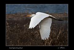 Great Egret at Long Pond (Tomcod) Tags: bird heron nature newfoundland bill wings wildlife tail beak marsh egret avalon avian greategret wader longpond wadingbird abigfave