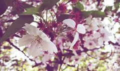 Neighborhood tree. (elleusine) Tags: pink flower tree cherry blossom