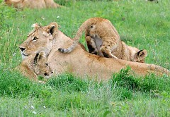 Lioness & Cubs, Ngorogoro Crater